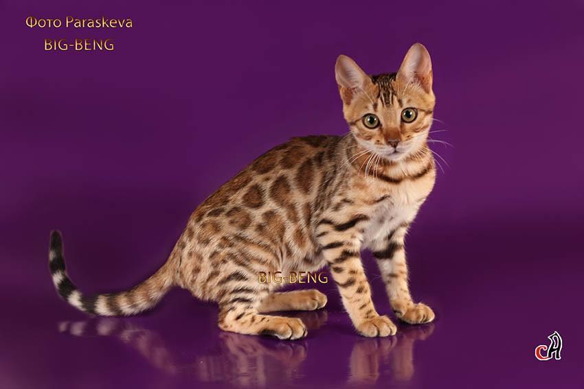 Фото бенгальских кошек 2013-2014гг.