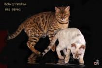 бенгальские кошки золотого и снежного окраса