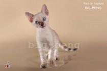 бенгальский котенок снежного окраса