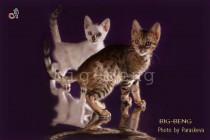 котята питомника Бенгальских кошек Big Beng