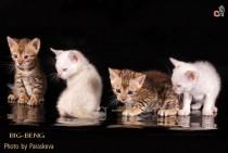 снежные и золотые бенгальские котята