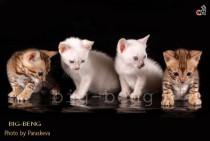 снежные  бенгальские котята питомника Big Beng