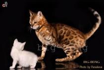 Питомник Big Beng. Бенгальские кошки