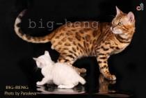 бенгальский котёнок снежного окраса с мамой-бенгалкой золотого окраса