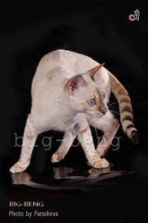 бенгальский кот снежного окраса
