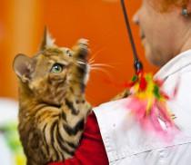 Бенгальский кот питомника Big Beng  на выставке ЭКСПОКОТ 2012