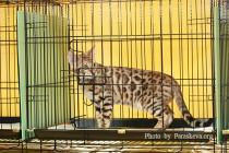 Питомник  Бенгальских кошек Big Beng