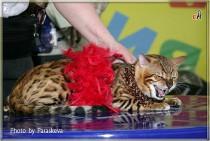 Бенгальский кот питомника Big Beng в конкурсе костюмов