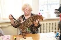 бенгальские котята Big Beng признаны лучшими