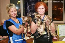 помет питомника Бенгальских кошек Big Beng признан лучшим