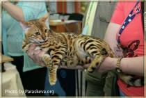 бенгальская кошка питомника Big Beng - ЮНИОР выставки
