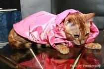 бенгальский котенок питомника Big Beng на конкурсе красоты