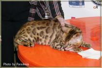 бенгальская кошка Bagira BIG-BENG клуб Арктур Гатчина
