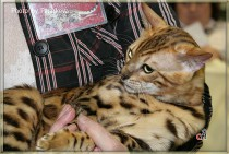 БЕСТ клуб Вариета бенгальский кот Canon BIG-BENG
