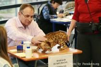 бенгальская кошка питомника Big Beng на выставке клуба Вариетта