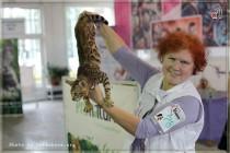 бенгальский котенок питомника Big Beng на выставке клуба Фелисити