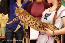 бенгальский кот питомника   Big Beng на выставке клуба Астарта
