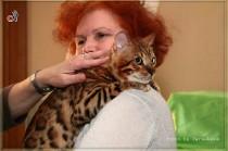 бенгальский кот питомника CAnon  Big Beng на выставке клуба Вариета  БЕСТ
