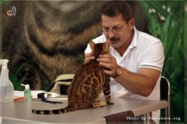 бенгальский котенок питомникаOlimpus   Big Beng на выставке  В Москве БЕСТ