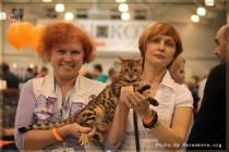 бенгальский кот Olimpus Big-BENG выставка в Москве   ЭКспокот