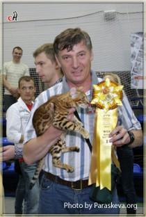 бенгальская кошка Bagira BIG-BENG клуб Арктур Гатчина БЕСТ