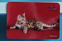 бенгальские кошки питомника BIG BENG в печати