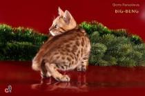 котенок породы Бенгальской  продан