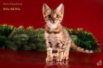 котенок Бенгальской породы  продан