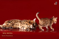 бенгальский котенок  продан