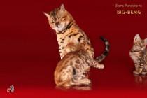 котята Бенгальской кошки продан