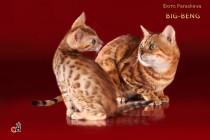 котенок бенгальской кошки продан