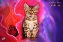бенгальский котенок продается