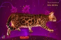 продается котенок бенгалов