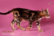 котенок мраморного окраса