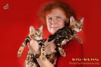 заводчик бенгальских кошек Наталья