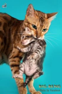 бенгальская кошка с мраморным котенком