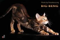 бенгальский кот мраморного окраса (оцелот)