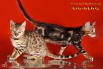 бенгальские кошки питомника BIG BENG