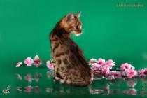 котенок Бенгальской кошки