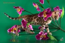 котенок Бенгальской продан