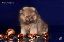 Профессиональное фотографирование собак. Фотограф-анималист Paraskeva.
