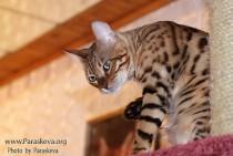 бенгальский кот питомника  Big Beng