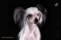 Фотосессия собаки породы китайская хохлатая. Фотограф-анималист Paraskeva.
