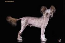 Фотосъемка собак породы китайская хохлатая. Фотограф-анималист Paraskeva.