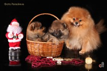 Профессиональная фотосъемка собак. Фотограф-анималист Paraskeva.