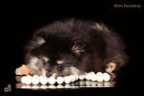 Фотографирование собак. Фотограф-анималист Paraskeva.