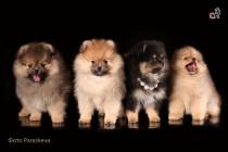 Фотосессия собак. Фотограф-анималист Paraskeva.