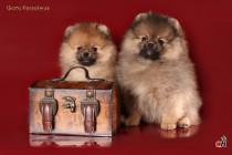 Профессиональное фото собак породы шпиц. Фотограф-анималист Paraskeva.