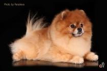 Фотосъемка собак породы шпиц. Фотограф-анималист Paraskeva.