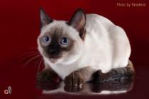 Фотосессия кошек. Фотограф-анималист Parskeva.